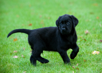 Meet Gizmo the Guide Dog